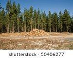 Freshly Cut Logs In A Pine...