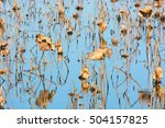 Small photo of American lotus lily pads in random patterns on a marsh in Missouri.