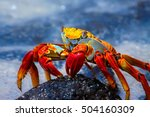sally lightfoot crab on a lava... | Shutterstock . vector #504160309