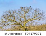 Small photo of Many black american vultures at top of big tree in Guayas, Ecuador