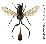 Small photo of Red Banded Sand Wasp on white Background - Ammophila sabulosa (Linnaeus, 1758)