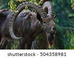 siberian ibex  capra sibirica . ... | Shutterstock . vector #504358981