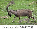 Small photo of Bezoar ibex (Capra aegagrus aegagrus), also known as the Anatolian Bezoar ibex. Wildlife animal.