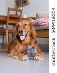 Stock photo golden retrievers and shorthair kitten 504416254
