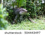 Spiny Tailed Iguana Close Up In ...