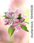 Crab Apple tree blossoms with extreme shallow DOF. - stock photo
