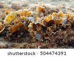 Small photo of kelp, aglae laminaria on sea beach