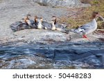 common merganser family on the... | Shutterstock . vector #50448283