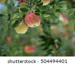 apple field   Shutterstock . vector #504494401