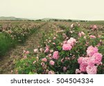 Stock photo field of blooming pink damask roses at bakhchisaray crimea local focus shallow dof toned 504504334