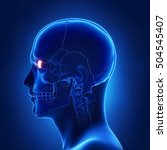 lacrimal bone   os lacrimale...   Shutterstock . vector #504545407