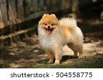 pomeranian  toy dog  fluffy dog | Shutterstock . vector #504558775