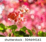 Red Pelargonium Flowers And...