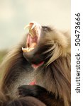 Gelada Baboon Baring It's Teeth