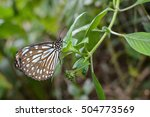 Small photo of Liuchiou blue spotted milkweed butterfly, scientific name Radena similis similis