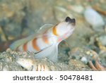 Small photo of Underwater view of a Magnus' shrimp goby (amblyeleotris sungami)