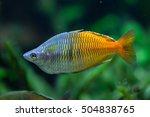 Boeseman's Rainbowfish ...