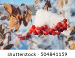 Snow Covered Red Bunches Of...