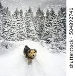 Small photo of Shepherd dog in winter Carpathian mountains in bad weather among snow-covered alpine fir trees and low clouds in deep snow is in Ukrainian Hutsul village before Christmas