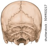 the bones of the cranium  skull ... | Shutterstock . vector #504903217