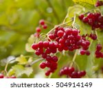 Small photo of Red berries of viburnum (Adoxaceae) growing outdoors in late October. Viburnum is use as a cure against coughing and flu.