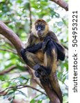 Spider Monkey Hanging From A...