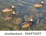 Canada Geese Swimming In The...