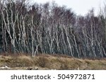 Small photo of Russian birch leaned against the wind