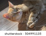cute polydactyl orange tabby... | Shutterstock . vector #504991135