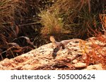 australian lizard   Shutterstock . vector #505000624