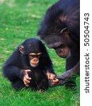 Chimpanzee Holding Careful The...