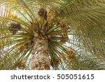 date palm tree in dubai  uae   Shutterstock . vector #505051615