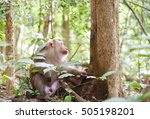 Pig Tailed Macaque Monkey Live...