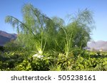 Fennel Plant In A Field Agains...