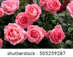 Stock photo bright pink roses background pink roses background pink rose in the garden beautiful pink rose in 505259287