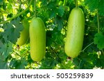 Hanging Winter Melon In The...