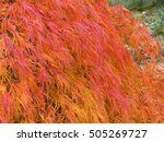 acer palmatum  called japanese... | Shutterstock . vector #505269727