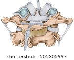 the ligaments of the median... | Shutterstock . vector #505305997