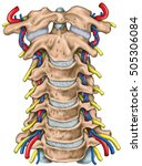 cervical spine with both... | Shutterstock . vector #505306084