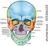 the bones of the cranium  the... | Shutterstock . vector #505306105