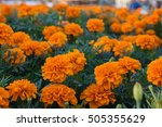 Field Of Tagetes Patula Flower...