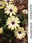 Small photo of african daisy