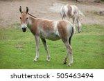 Turkmenian kulan  equus...