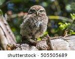 a little owl is sitting on a... | Shutterstock . vector #505505689