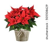 Red Poinsettia Plant In Wood...