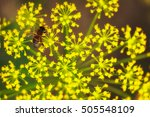 Dill Flower And Bee