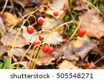 Bright Red Berries Of Lily Of...