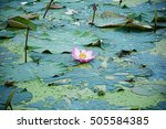 Lotus Flower Inside The Lagoon