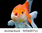 gold fish isolated on black... | Shutterstock . vector #505600711