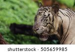 closeup of a roaring white... | Shutterstock . vector #505659985